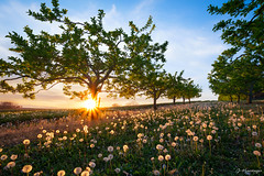 Under the apple trees (jo.haeringer) Tags: sunset trees nature sunshine appletrees dandelion fields flowers landscape