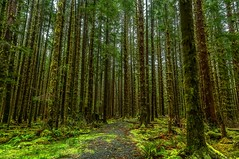 Mossy roads less travelled (Cole Chase Photography) Tags: rainforest hoh hohrainforest olympicpeninsula olympicnationalpark washington moss green forestroad pacificnorthwest rain spring