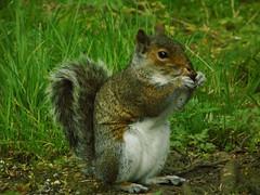 Squirel (Kimi Lovac) Tags: squirel scotland leith wiildlife