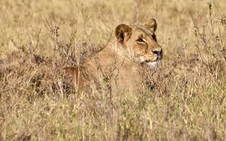 Simba - A Portrait