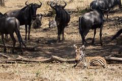 Abandoned (Ring a Ding Ding) Tags: 2017 africa burchellszebra equusquaggaburchellii kenya kichetche maasimara olareorek baby foal nature safari wildebeest wildlife narokcounty