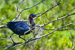 twig gathering (Grant and Caroline's pix) Tags: bird heron nature wildlife birding oiseau littleblueheron magnoliaplantation audubonswamp