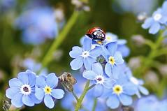 Vergissmeinnicht (izoll) Tags: macro bokeh sony pflanzen blumen blau makro käfer blüten schärfentiefe marienkäfer glücksbringer vergissmeinnicht myosotis zart nahaufnahmen alpha580 izoll myosotissylvatika