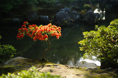 Standing Red (deletio) Tags: flowers red green japan garden pond kyoto ginkakuji kyotoprefecture 2013 d700 afsnikkor2470mmf28ged