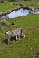 (Max Callaghan) Tags: lake animals zoo scotland edinburgh zebra grazing zoology 55105mm d3100