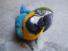 Blue-and-yellow Macaw (Giovanni Toso) Tags: bird eye nature animal grancanaria beak olympus macaw laspalmas blueandyellow