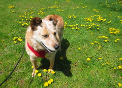 IMG_0774: Ziva And The Dandelions (i_am_lee_sam) Tags: red dog senior cattle dandelions heeler acd adoptable ziva australaian