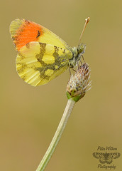 The Provence (Moroccan) Orange Tip - Anthocharis (belia) euphenoides (Pete Withers) Tags: