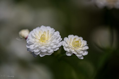 Floating (CecilieSonstebyPhotography) Tags: flowers white flower macro green june oslo closeup canon petals bokeh petal botanicalgarden botaniskhage markiii ef100mm macro100mm awesomeblossoms canon5dmarkiii ef100mmf28lmacroisusm
