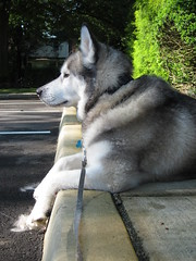Lulu with her Paws over the side of the Curb (sameold2010) Tags: dog paw husky lulu sidewalk siberianhusky paws siberian curb