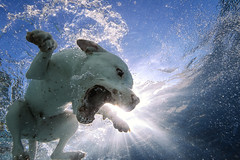 Kilo Submerged (*Knowledge*) Tags: dog sun pool swimming canon underwater sandiego wideangle pitbull flare backlit spl americanstaffordshireterrier 14mm 14l waterhousing 1d4 bullybreed 1dmarkiv
