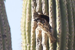 House sparrow (hmclin) Tags: sabinocanyonrecreationarea tucson arizona housesparrow sparrow ©henrytmclin ©henrymclin