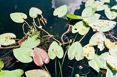 Everglades (_JZL_) Tags: nature canon 50mm florida kodak ae1 400 program everglades f18 portra