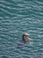 Bob (M6304478orf) (Mel Stephens) Tags: uk summer animal animals june geotagged coast scotland aberdeenshire wildlife sealife olympus cliffs coastal seal gps 75300mm omd m43 q2 2013 em5 201306 mirrorless longhaven micro43 microfourthirds mzuiko 20130630