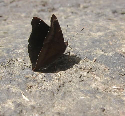 BLACK PRINCE (Rohana parisatis)