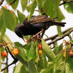 Star 02 (Stefan_68) Tags: bird star pssaro oiseau vogel pjaro songbird uccello singvogel oiseauchanteur