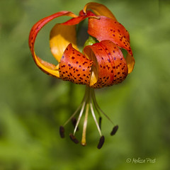 Tiger Lily (San Francisco Gal) Tags: orange flower macro nature fleur garden blossom spots stamen bloom tigerlily liliumcolumbianum familyliliaceae columbialily tepal