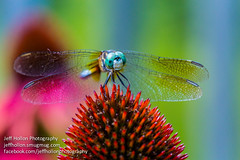 Just Sitting Around (jeffrhollon) Tags: ohio flower macro nature canon bug insect fly wings colorful dragon dragonfly cone 100mm 5d