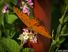 Gulf Fritillary (Ann Jaber Photography) Tags: orange flower butterfly insect wings gulf eating lepidoptera resting fritillary entomology virtualjourney