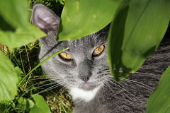 Cat 1 (mnsc) Tags: leaves cat fur nose amber eyes gray ears whiskers ear stare hiding