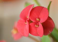 Macro (mastrudani) Tags: flower macro natura erba micro fiore piante petali colori margherita pianta macrofotografia pistillo