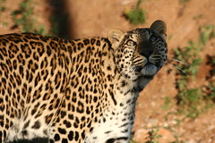 gazing leopard (Jud@th) Tags: africa nature animal cat wildlife leopard anawesomeshot