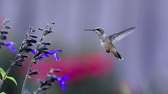 Hummingbird in Flight_DSC0132 (DansPhotoArt) Tags: morning motion bird love nature fauna speed garden freedom flying inflight wings backyard nikon hummingbird bokeh wildlife tranquility aves growth balance anticipation onthemove freshness bif passaros rubythroatedhummingbird absence fullbody fragility alertness colibris beijaflores picaflores archilocuscolubris hummingbirdinflight d7100