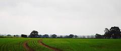 New growth (jcl34) Tags: sky green field grass landscape view seeds soil