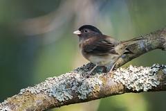 Dark-eyed Junco rear look (Nikon-gearhead) Tags: canada bird nature birds vancouver nikon bc nikkor darkeyedjunco d800 juncohyemalis tc14eii nikon400mm28 tc20eiii nikongearhead
