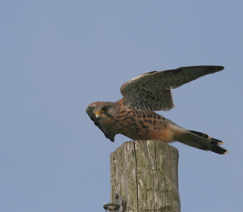 "Kestrel on post • <a style=""font-size:0.8em;"" href=""https://www.flickr.com/photos/30837261@N07/10722421285/"" target=""_blank"">View on Flickr</a>"