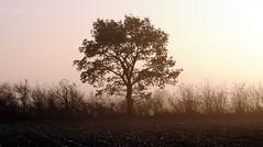 Nebelwelten, an einem November-Morgen in Brunsholm; Bergenhusen, Stapelholm (18) (Chironius) Tags: stapelholm bergenhusen schleswigholstein deutschland germany allemagne alemania germania   ogie pomie szlezwigholsztyn niemcy pomienie morgendmmerung morgengrauen  morgen morning dawn matin aube mattina alba ochtend dageraad  amanecer morgens dmmerung nebel gegenlicht eiche baum bume tree trees arbre  rbol arbres  rboles albero quercus oak chne  roble quercia rovere ek carvalho mee eik   rvore aa boom trd deutscheeiche quercusrobur stieleiche fog brouillard niebla silhouette