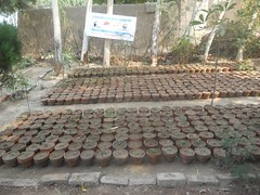 Seedling of Ficus in clay pots (safwansh) Tags: pakistan birds education aves foundation ficus habitat biodiversity safwan kasur treesplantation