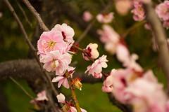 Cherry blossoms near Hiroshima Castle (Ehren Mannebach) Tags: japan hiroshima cherryblossom sakura  hiroshimacastle