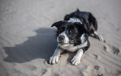 Intense Stare on the Beach (Bas Bloemsaat) Tags: beach sheepdog bordercollie