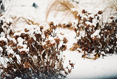 (Jasmine Hollands) Tags: nyc usa snow newyork film nature 35mm centralpark grain bushes