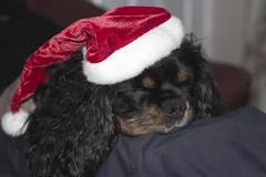 I Don't Think He Realises (shotbyal) Tags: santa christmas camera dog lens eos rebel 50mm prime funny king charles spaniel cavalier t3i 600d canoneos600d rebelt3i