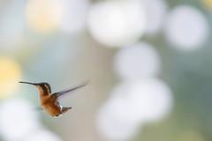 Colibr 5 (Jos M. Arboleda) Tags: bird canon eos colombia hummingbird jose ave 5d colibr arboleda markiii trochilidae ef400mmf56lusm coconuco apodiforme mygearandme josmarboledac blinkagain troquilinos
