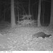 Fisher Cat (Martes pennanti)