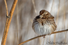Little Fatso (Song Sparrow) (Mitch Vanbeekum Photography) Tags: winter newjersey nj perched lyndhurst songsparrow melospizamelodia canon5dmkiii canonef500mmf4is disposalrd canon14teleconvertermkiii mitchvanbeekum