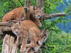 Eurasian lynx (Lynx lynx) (Carsten Gyger) Tags: two tree cat austria österreich couple europa europe looking paar baum zwei lynx osttirol raubkatze luchs starren raubtier eurasianlynx nordluchs eurasischerlux