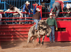 IMG_2106 (DesertHeatImages) Tags: road men cowboys women boots hats agra rope bulls rodeo runner regional steers 2014 vision:text=0534 vision:sky=0737 vision:car=07 vision:outdoor=0778