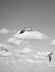 4 Ways to fly (SouLounge_Mid) Tags: ocean sea sky bw seagulls bird birds del clouds mexico libertad freedom flying blackwhite riviera maya free playa bn helicopter carmen blanconegro souloungemid