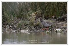 Chevalier gambette (Tringa totanus - Common Redshank) (Pierre Crétu) Tags: commonredshank tringatotanus ariège mazères chevaliergambette domainedesoiseaux pierrecrétu