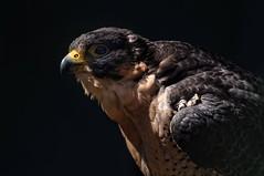 Fence Off (brev99) Tags: cage raptor nik thegreatswamp niksoftware viveza raptorsanctuary tamron70300vc
