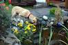 Sam hilft Frauchen bei der Gartenarbeit. (Günter Hentschel) Tags: dog d50 germany garden deutschland nikon lab europa labrador yellowlab nikond50 hund grün garten gieskanne yellowlabrador labby d40 nikond40 nikond40only