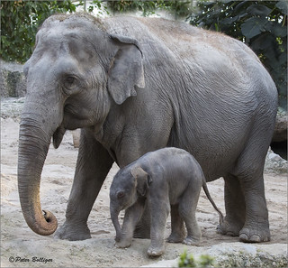 Asiatic elephant baby - 26 hours old