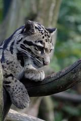 Clouded leopard, pondering (dididumm) Tags: cloudedleopard neofelisnebulosa pondering sunshine sonnenschein grübeln nachdenken überlegen nebelparder ifiranthezoo