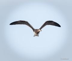 Seagull (mlahsah) Tags: sea بحر بحربيش نورس seagull ngc nikon d750