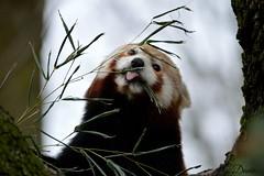 Funny Face. (Daantje1704) Tags: redpanda rodepanda redbearcat mammal zoogdier animal zoo blijdorp rotterdam bamboo portrait closeup funny diergaarde lesserpanda china himalaya nikon