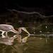Scatter Shot (gseloff) Tags: tricoloredheron bird feeding fish menhaden wildlife armandbayou pasadena texas kayakphotography gseloff